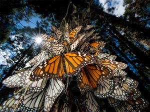 wpid-monarch-butterflies-mexico_28112_990x742.jpg